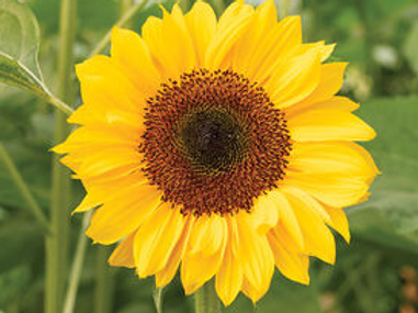 HORIZON SUNFLOWER
