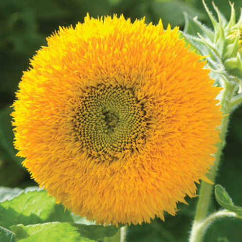 TEDDY SUNFLOWER