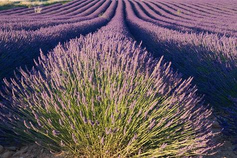Lavendel - ok.jpg