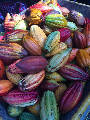 cacao fruit - ok.jpg