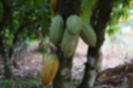 Cacao tree - ok.jpg