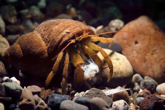 Feeding Hermit Crab