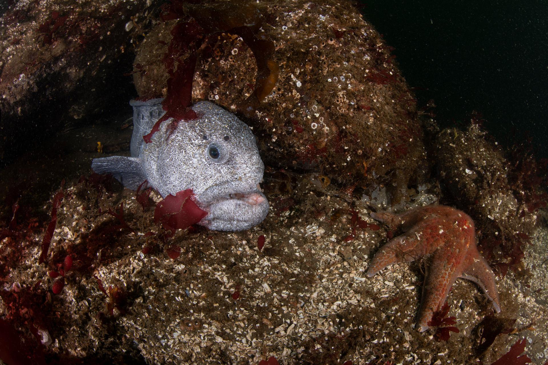 Wolf Eel and Starfish