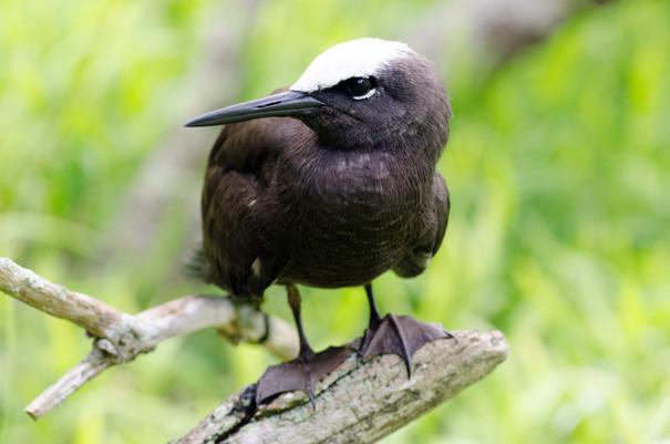 Black Noddy