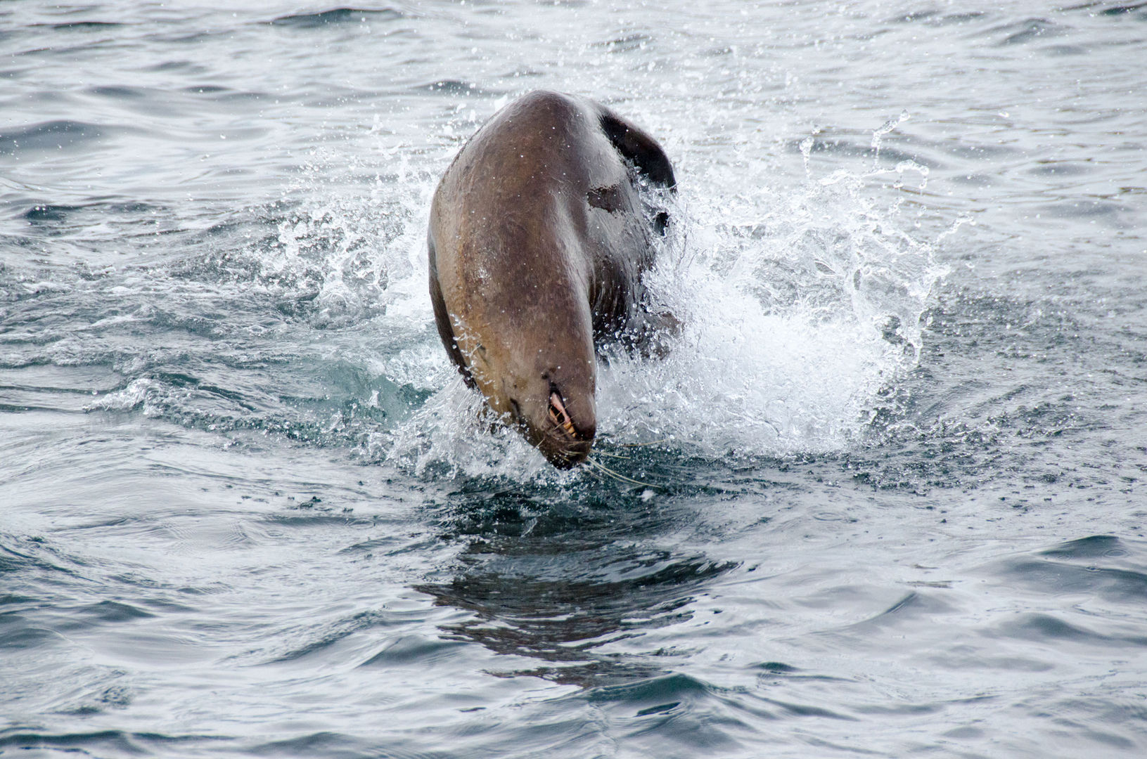 Jumping Steller Sea Lion