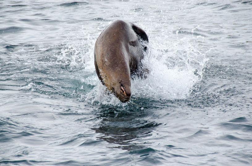 Jumping Steller Sea Lion