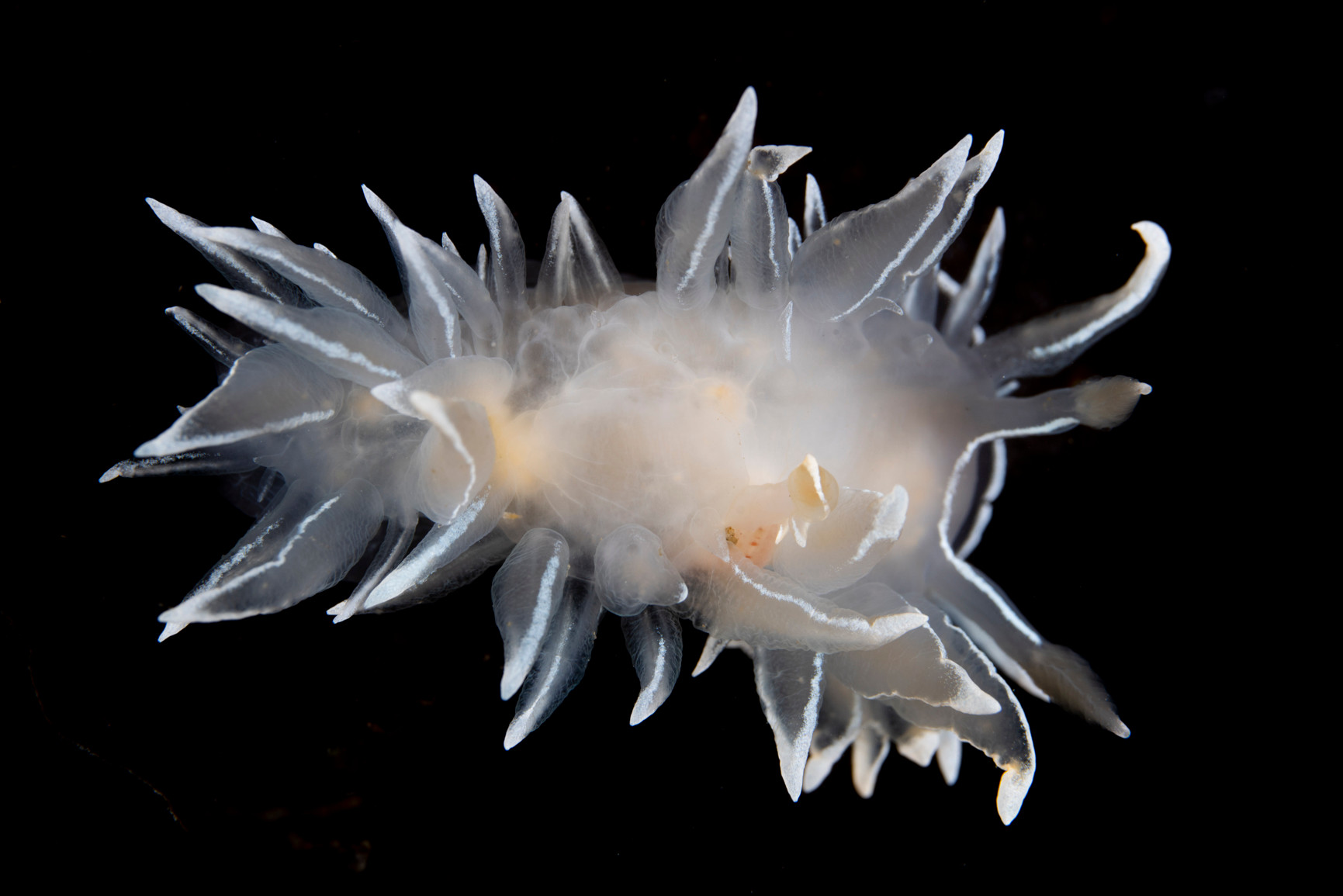 Frosted Nudibranch - ID Photo