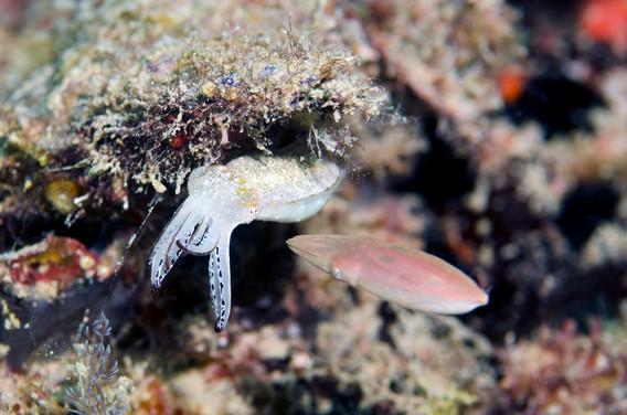 Pygmy Squid Confrontation