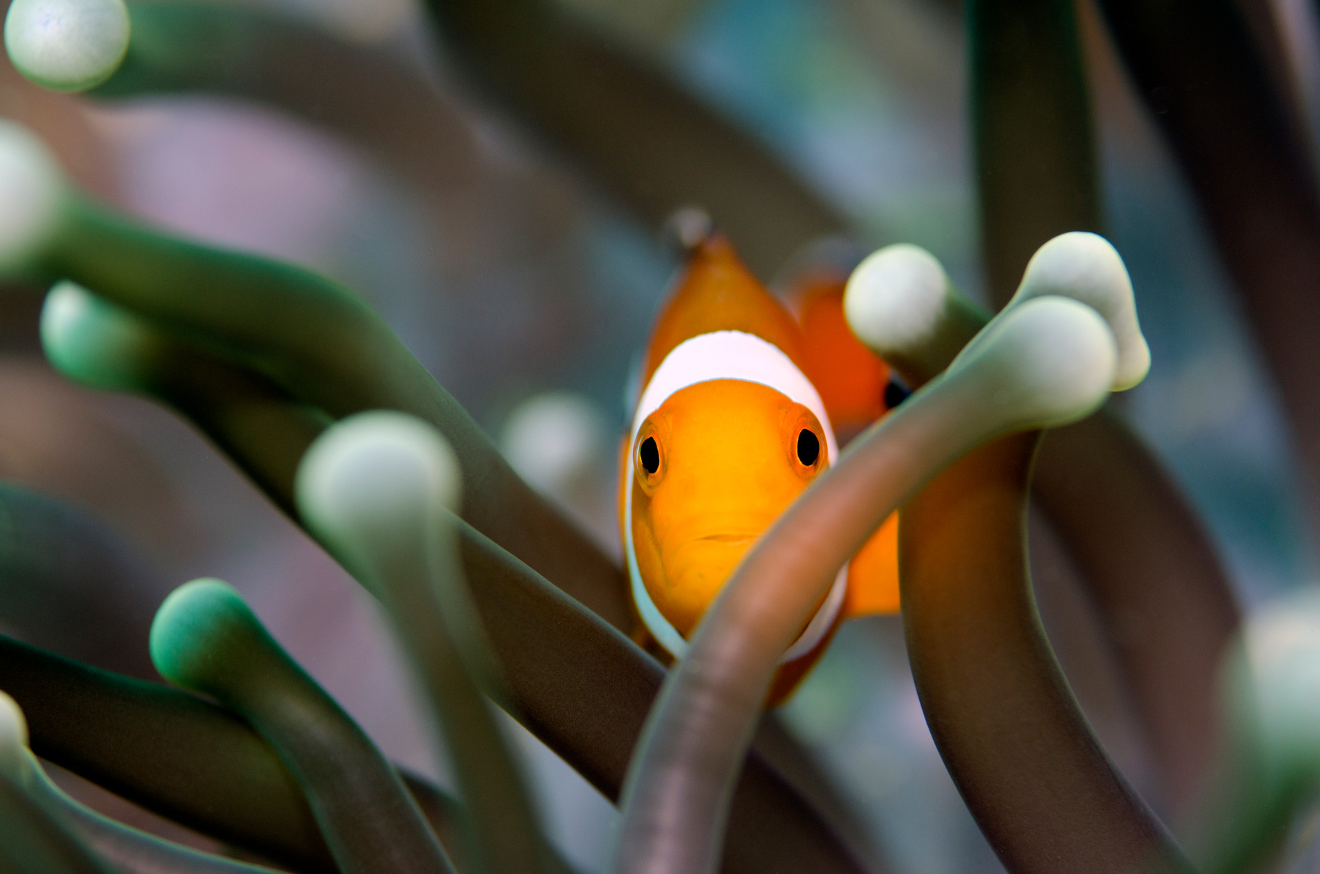 Hiding Clownfish
