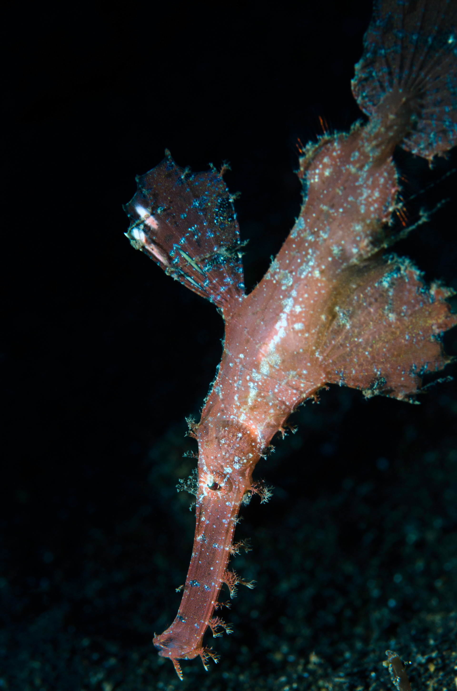 Robust Ghost Pipefish Portrait