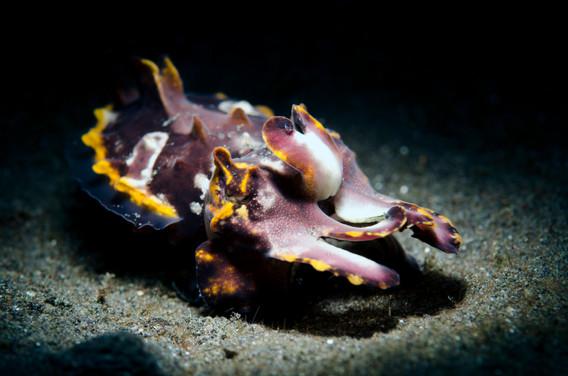 Flamboyant Cuttlefish Display