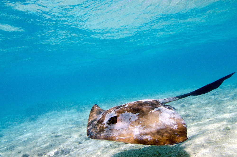 A cowtail stingray swims in the shallows at Heron Island