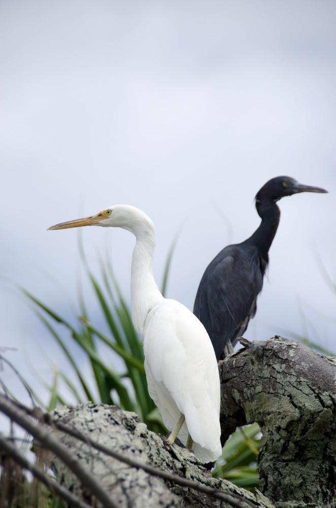 Eastern reef egrets (both morphs) from Heron Island