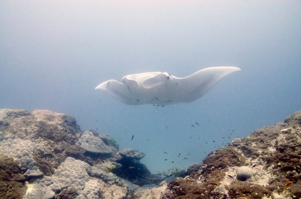 A manta ray hovers over Heron bommie