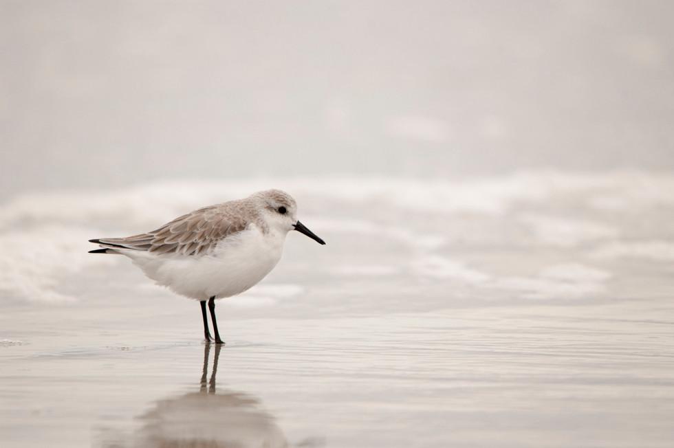 Beach Sanderling