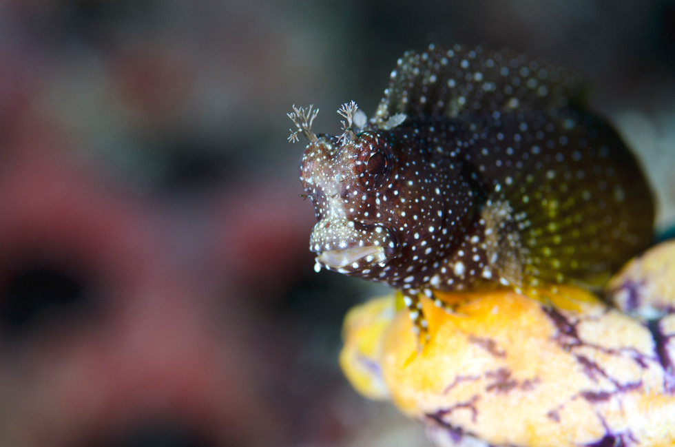 White-Spotted Blenny