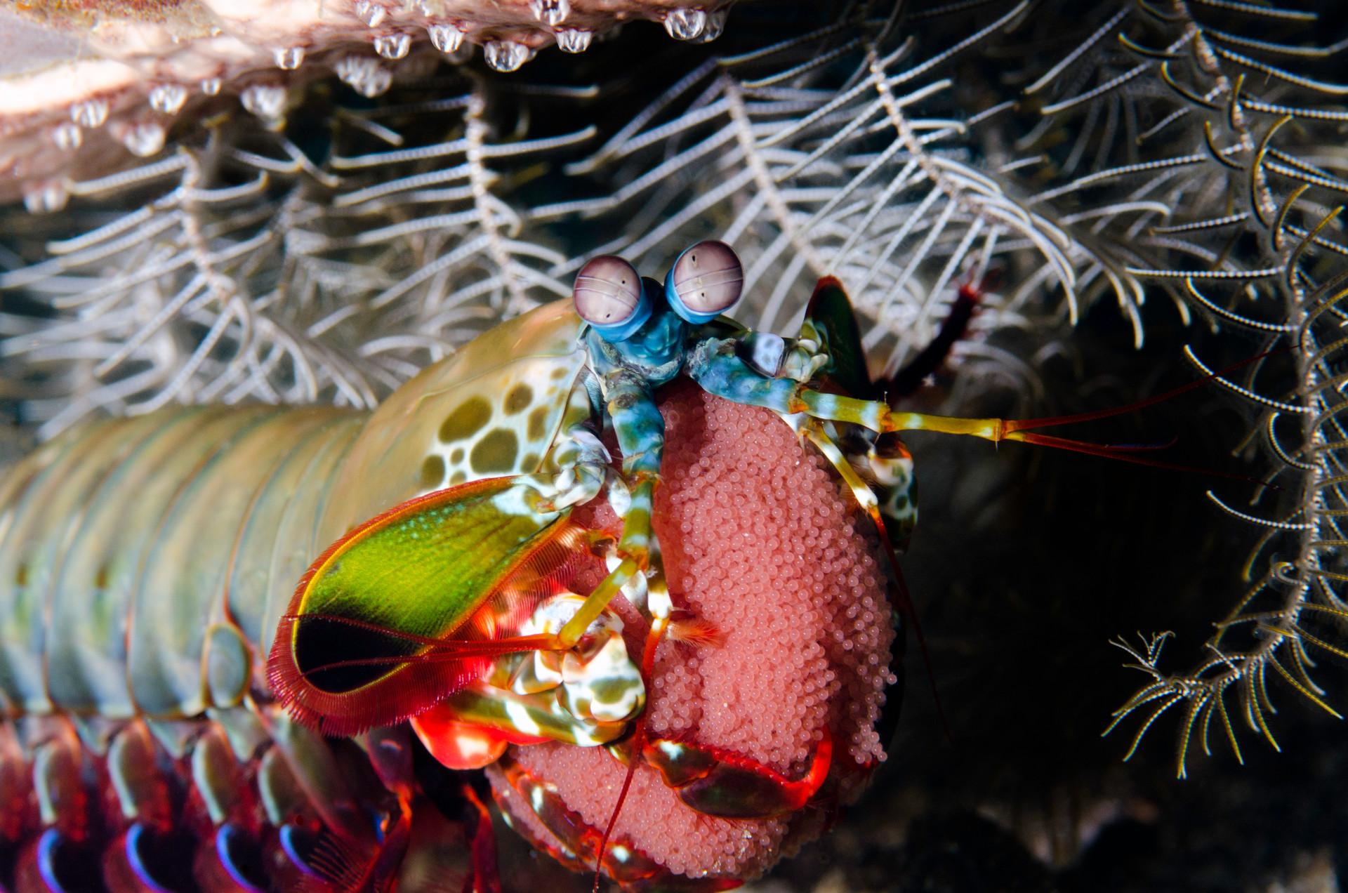 Mantis Shrimp Protecting Eggs