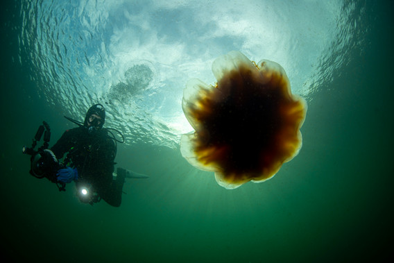 Lion's Mane and Diver