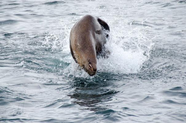 Steller Sealion Jumping
