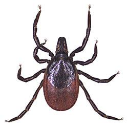 Ticks & Lyme's Disease