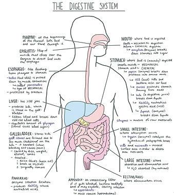 Digestive_System_Diagram.jpg