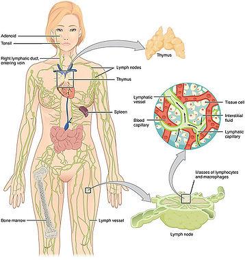 2201_Anatomy_of_the_Lymphatic_System.jpg