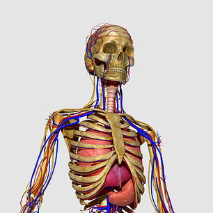 Anatomical image of a skeletal system