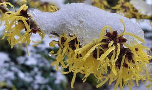 Snowy hazel