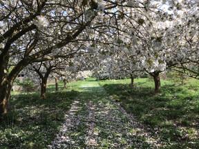 The Cherry Orchard Compton Scorpion 2