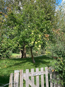 Apple tree - Manor grounds - Autumn September