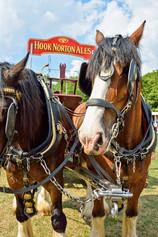 Dray horses 2