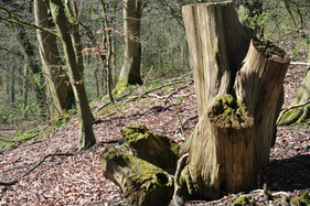 Spring - Tree Stump on Pig Lane