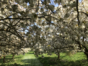 The Cherry Orchard Compton Scorpion 3