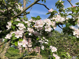 Apple blossom at Dormers