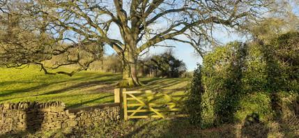 High oak. Far end of Pig Lane