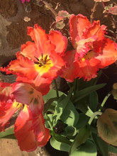 Tulips in the sunshine