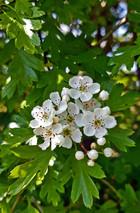 Blossom - JS1