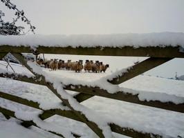 Sheep behind gate
