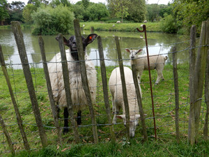Sheep by Manor ponds
