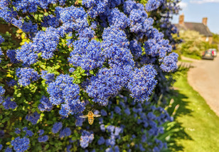 Ceanothus with bee