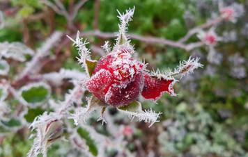 Winter. Rosebud