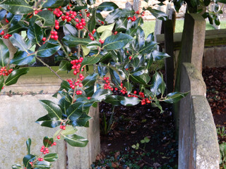 Holly berries and gravestones 3