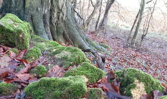 Beech bole, leaves and moss. Foxcote