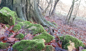 Beech bole, leaves and moss. Foxcote