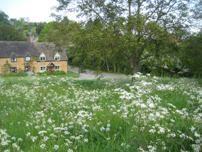 Cow parsley upper green 2