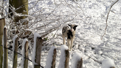 Winter. Lamb in Snowy Berry Orchard