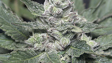CHEMO a Canadian-originating strain with some history.