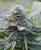 Former Cannabis Cup Winner still a fave. Blueberry Kush