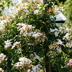 Zu meiner Freude... In den Gärten der Jane Austen