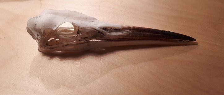 Heron Skull found on Fair Isle